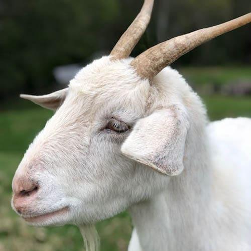 berry-vet-clinic-Goat Scout Sim